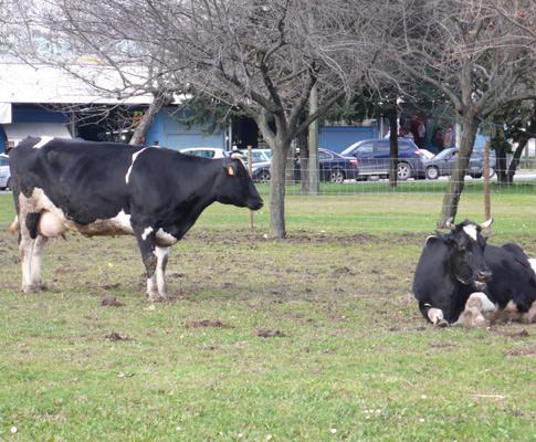 Vacas pastam na Praça de Espanha