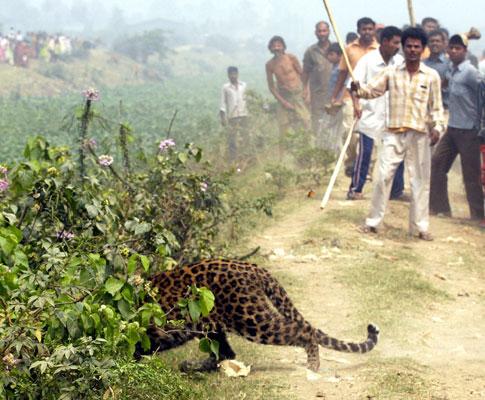 Índia: populares caçam leopardo