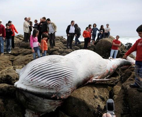 Baleia dá à costa na Póvoa do Varzim