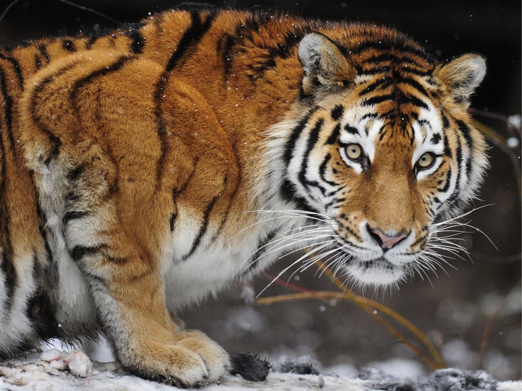 Tigre - EPA/STEFFEN SCHMIDT