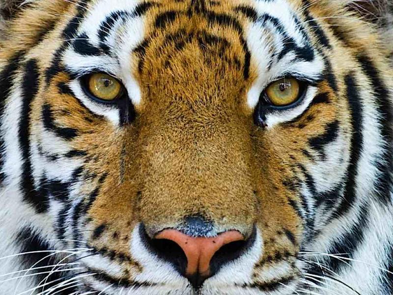 Tigre (arquivo)