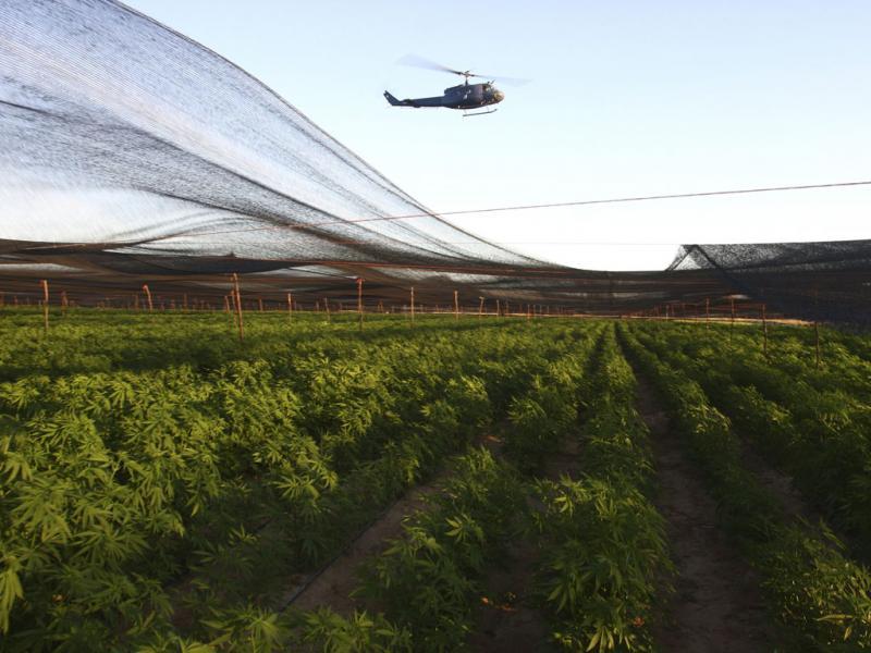 Descoberta a maior plantação de sempre de marijuana (Reuters\STRINGER)