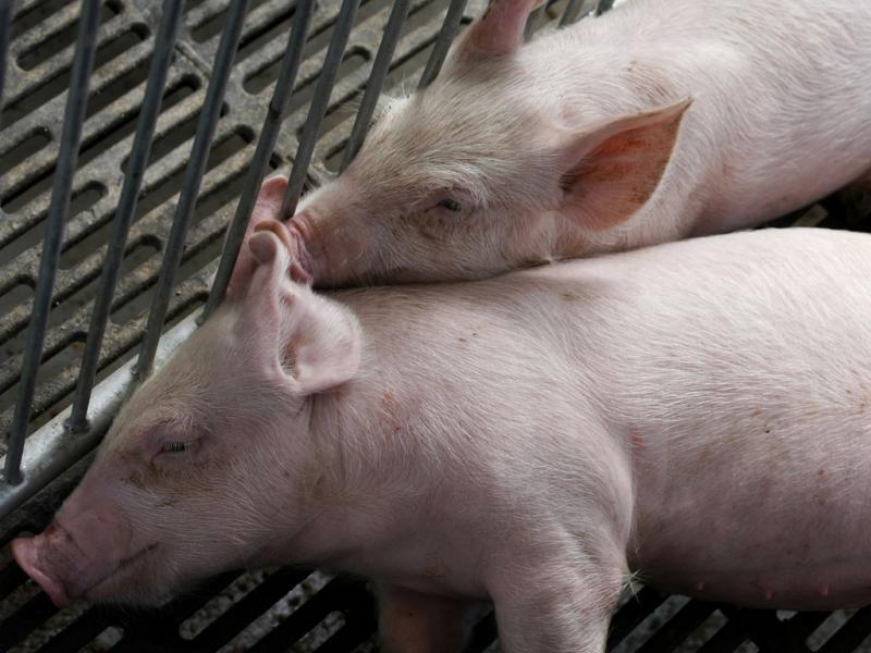 Porcos clonados na China - Reuters\Bobby Yip