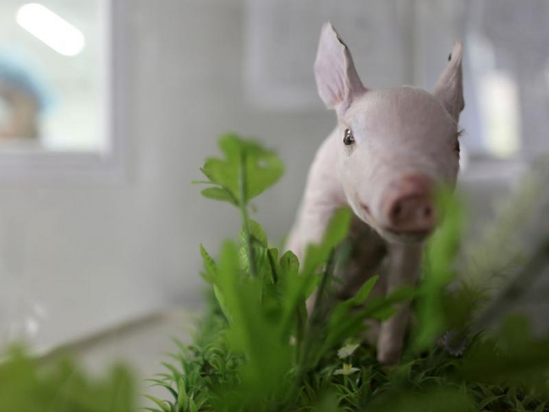 Porcos clonados na China - Reuters\Siu M Chiu