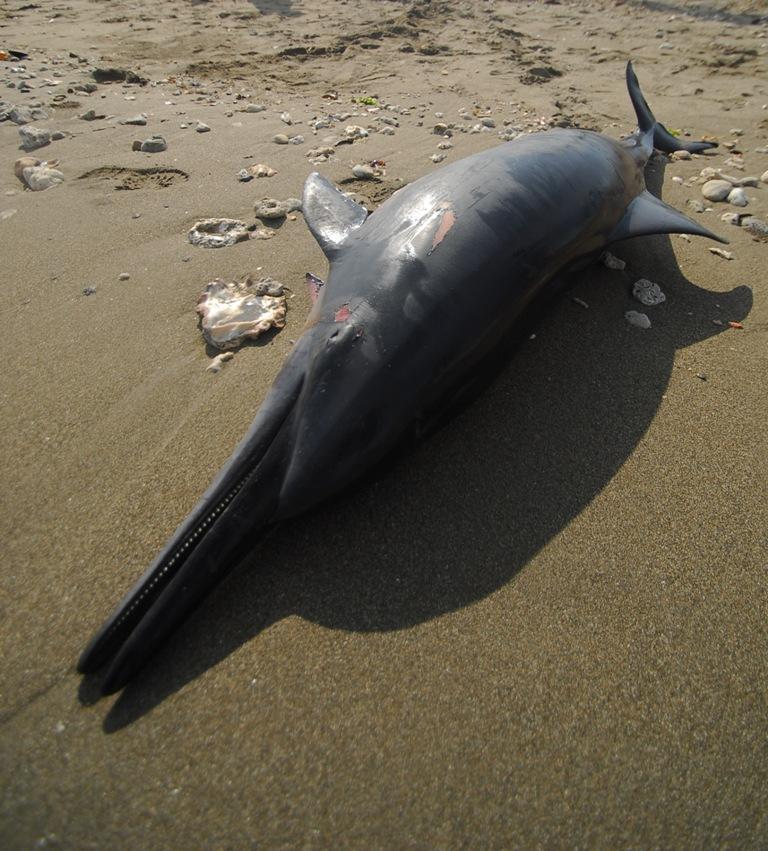 Indonésia: Dezasseis golfinhos mortos e sete devolvidos ao mar
