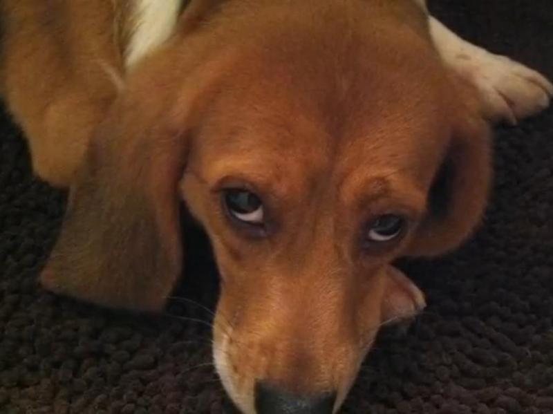 Cães libertados de laboratório (Reprodução YouTube)