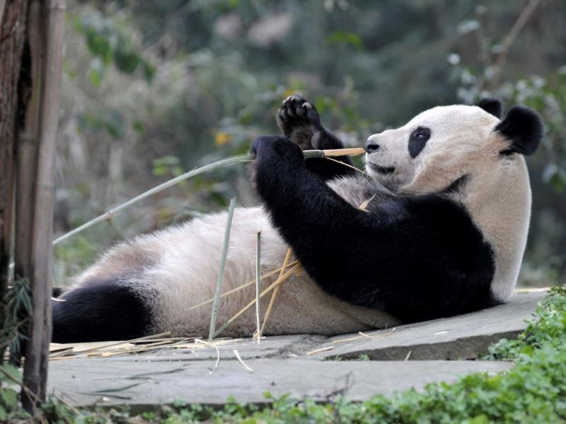Pandas gigantes viajam para a Escócia [Reuters]
