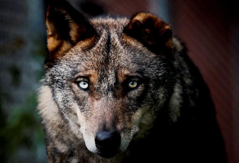 Faia é já considerada a principal atração do Centro de Recuperação do Lobo Ibérico (CRLI), que necessita de donativos para preservar a espécie (José Sena Goulão/Lusa)