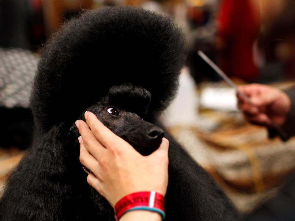 Concurso de cães em Nova Iorque, nos EUA [Foto: Reuters]