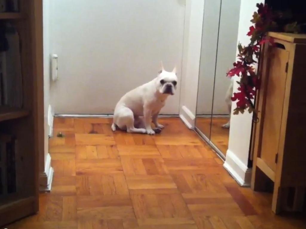 Adele leva este cão «às lágrimas» (FOTO reprodução do Youtube)