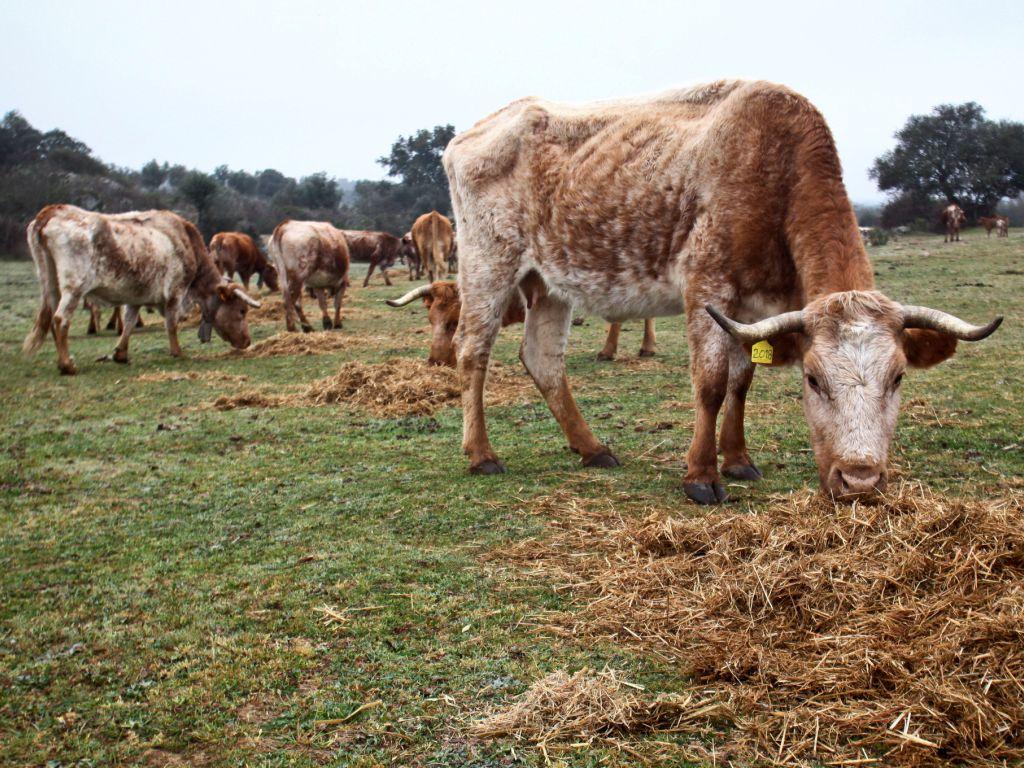 Vacas (Arquivo)