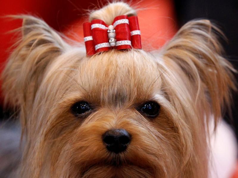 Um Yorkshire Terrier espera decisão do júri na competição Crufts em Birmingham (Reuters)