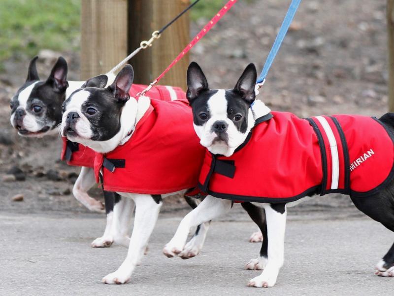 Três Boston Terrier chegam no primeiro dia da competição Crufts em Birmingham (Reuters)