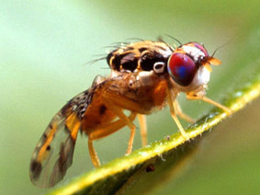 Macho da mosca da fruta embebeda-se se rejeitado sexualmente