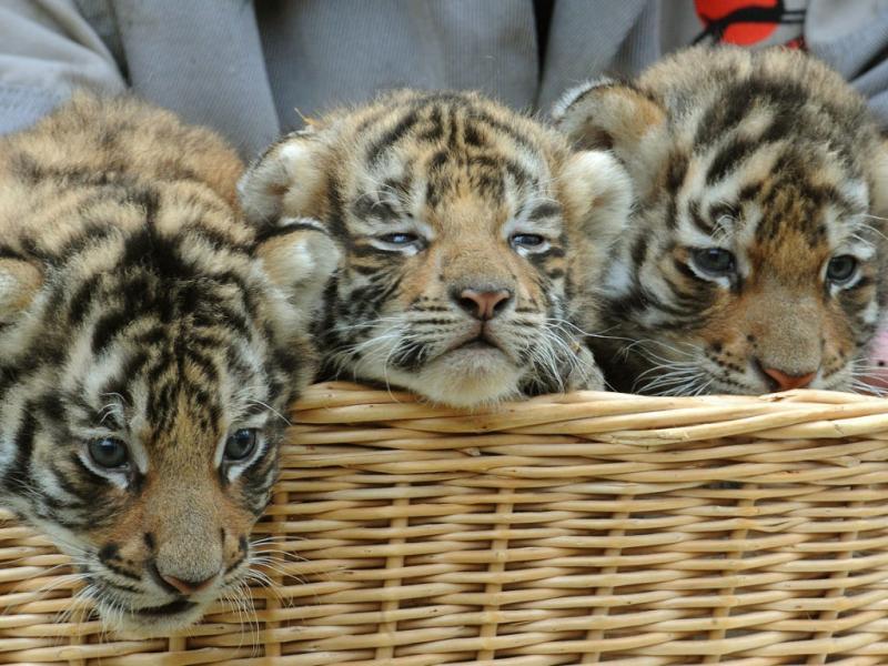 Um tigre, dois tigres, três tigres...