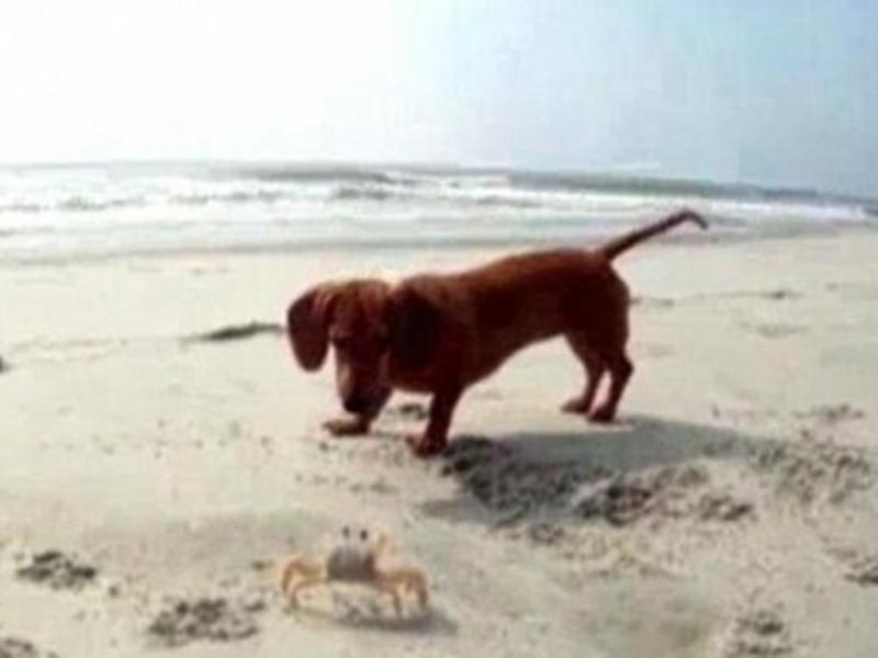 Quando um cão tenta brincar com um caranguejo...