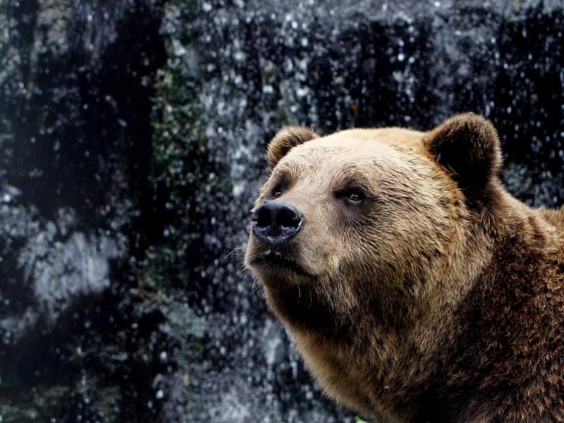 Urso-pardo (foto José Coelho/Lusa)