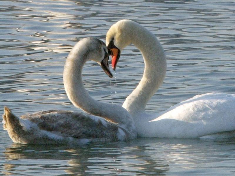 O amor está em todo o lado: Dois cisnes no dia dos namorados (Reuters)