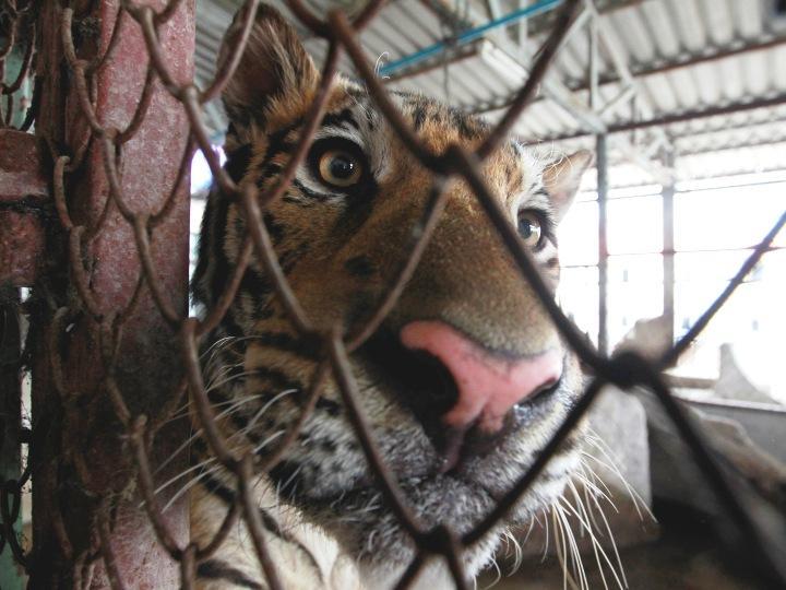 tigre_banguecoque