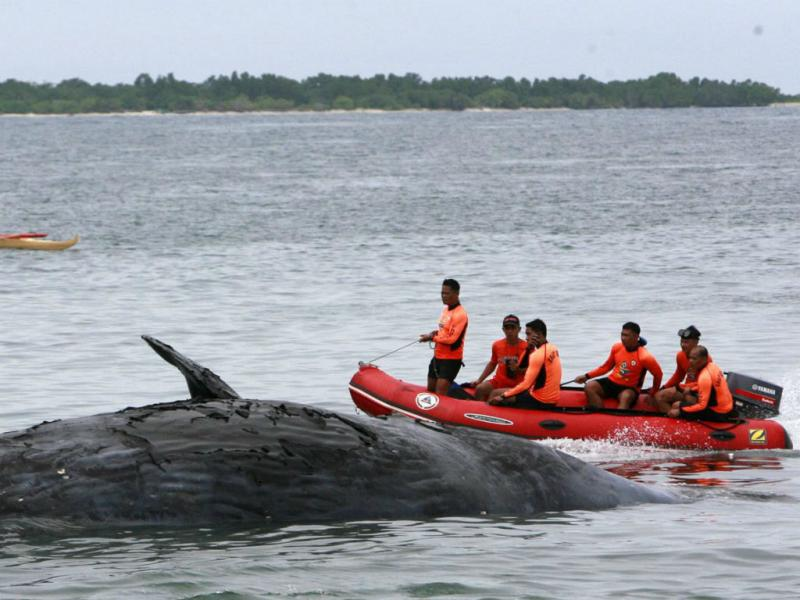 Cachalote dá à costa nas Filipinas (Laurenz Castillo/EPA)