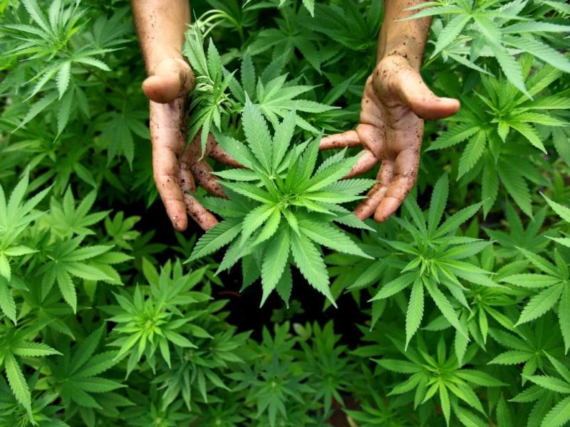 Cannabis (EPA/ABIR SULTAN)