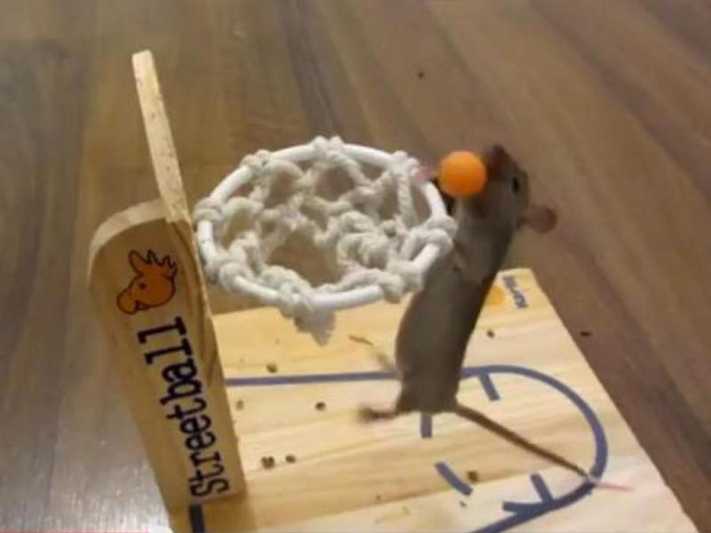 Ratos mostram proezas