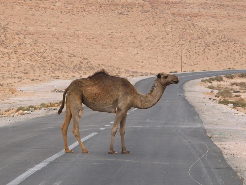Camelo atravessa uma estrada em Bani Walid (Reuters)