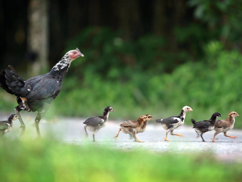 Galinhas e Pintainhos atravessam uma estrada em Lui Barat (Reuters)