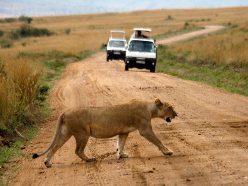 Leoa atravessa uma estrada em Masai Mara (Reuters)