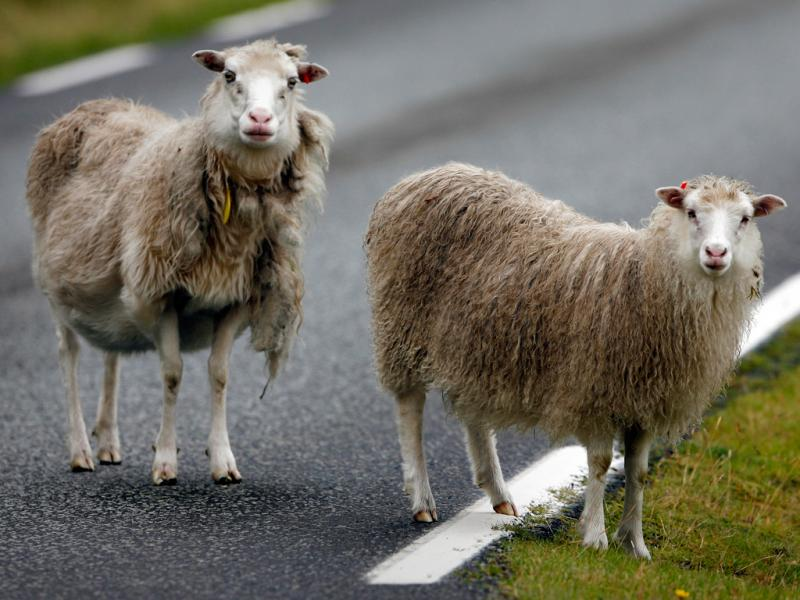 Ovelhas atravessam uma estrada perto da aldeia de Funningur (Reuters)