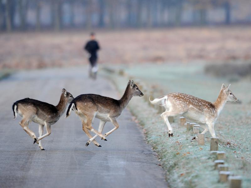 Veados atravessam uma estrada em Richmond Park (Reuters)