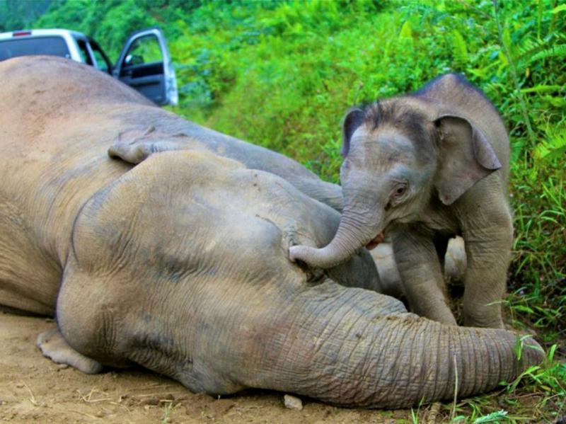 Dez elefantes pigmeus encontrados mortos [EPA]