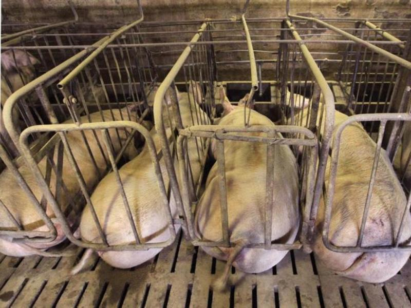 Porcos [Reuters]