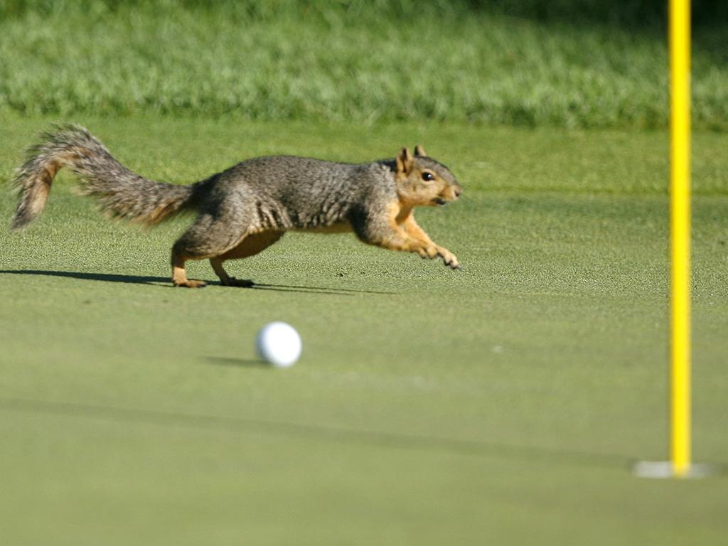 Intrusos em campo: Esquilo invade campo de Golfe durante um campeonato (REUTERS)