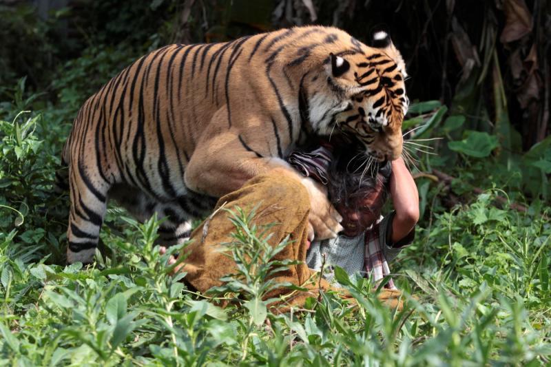 E se um tigre lhe der um beijo, isso é...( REUTERS/SIGIT PAMUNGKAS)