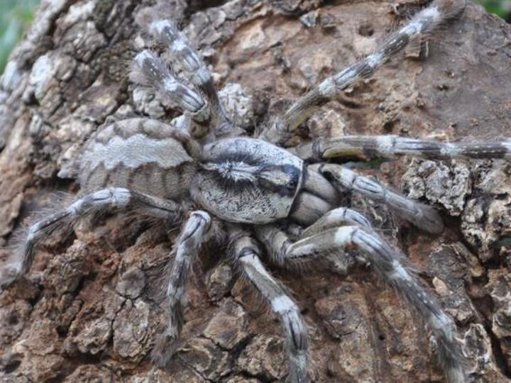 Descoberta nova espécie de tarântula [Foto: British Tarantula Society]