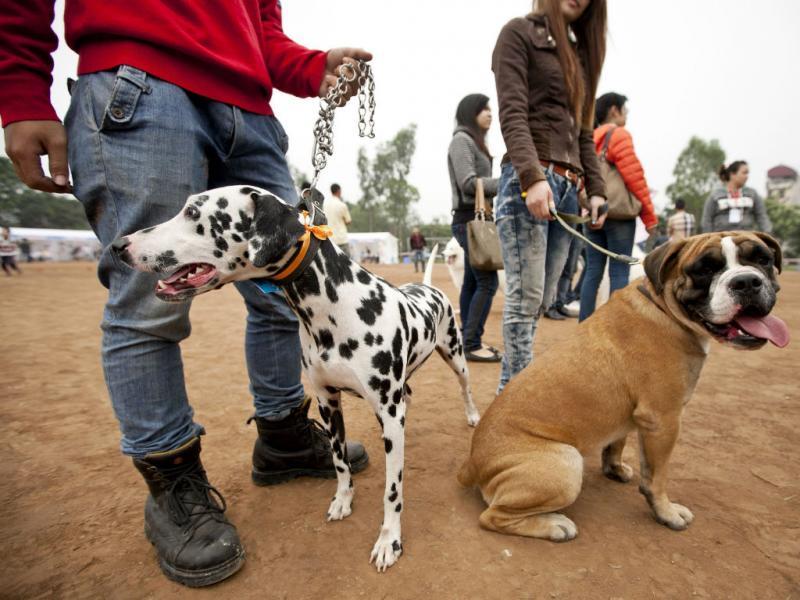 Exposição canina no Vietname: estes cães não são de restaurante (EPA/LUONG THAI LINH)