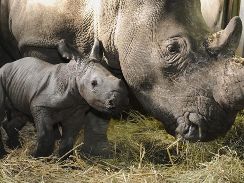 Rinocerontes (arquivo)