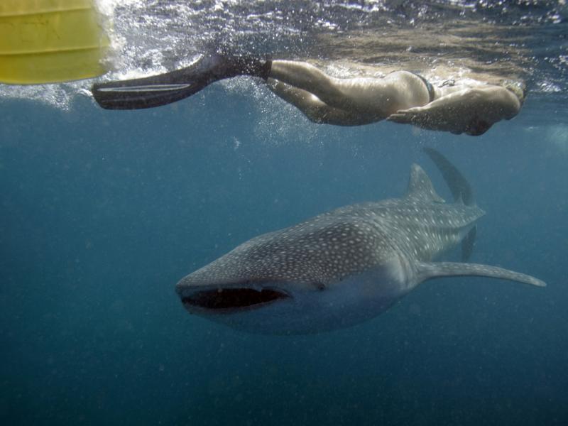 Tubarão baleia (Reuters)