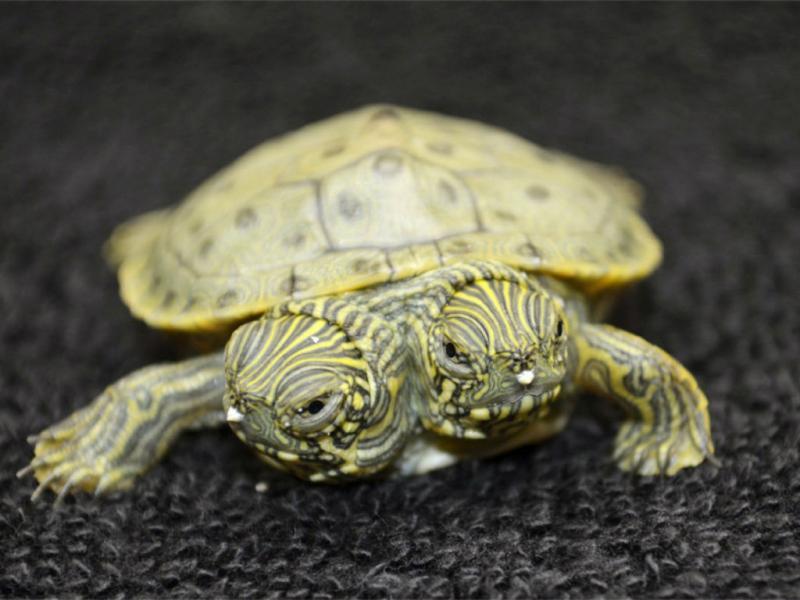 Tartaruga com duas cabeças  (Associated Press/San Antonio Zoo)
