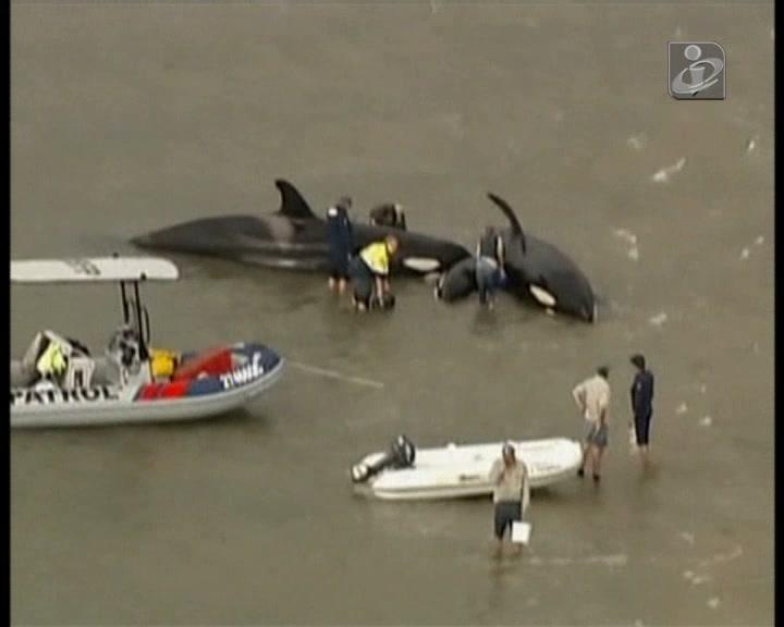 Cinco baleias resgatas e duas mortas na costa australiana