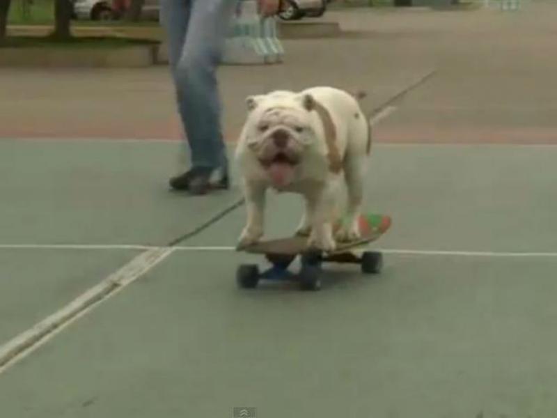 Bulldog anda de skate (Youtube/Reprodução)