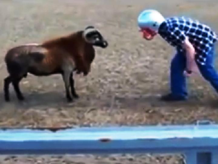 Duelo entre um homem e um carneiro