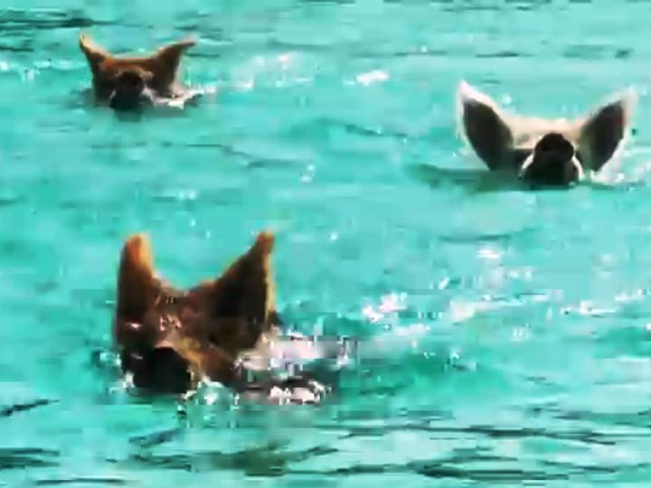 Afinal os porcos também podem nadar