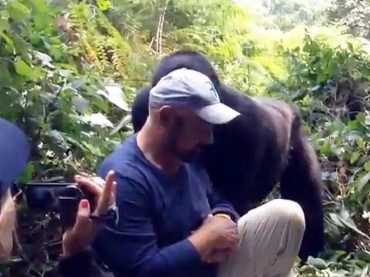 «Beijo» do gorila no seu dia de anos