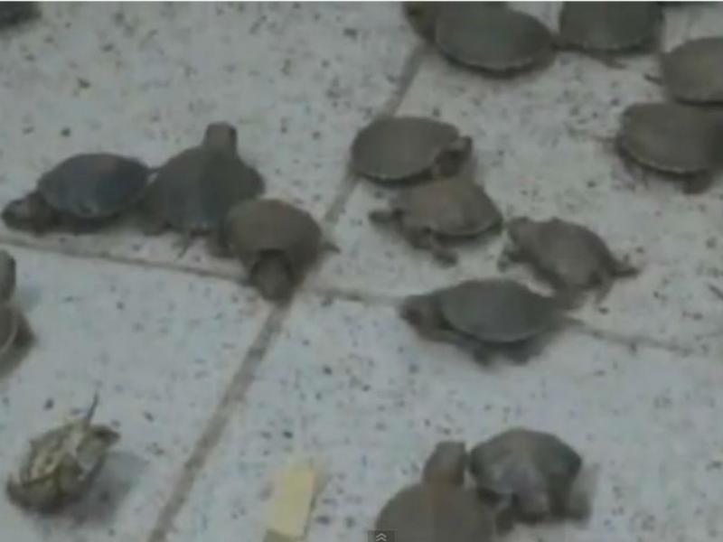 Tartarugas encontradas na bagagem (Reprodução/Youtube)