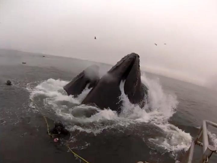 Mergulhadores escapam por pouco de serem a refeição das baleias