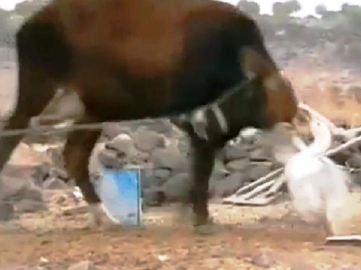 Ganso furioso ataca vaca numa luta