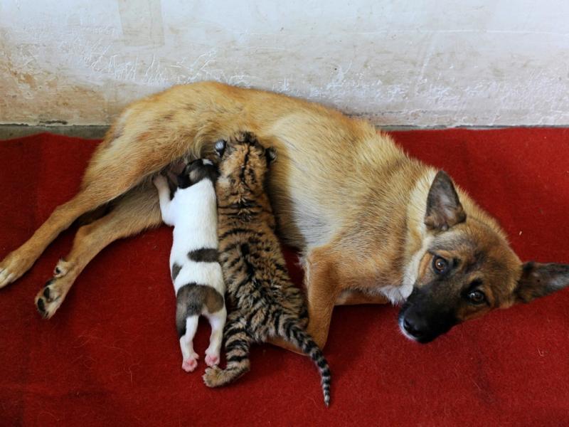 Cadela alimenta o seu cachorro e um tigre bebé (REUTERS/Stringer)