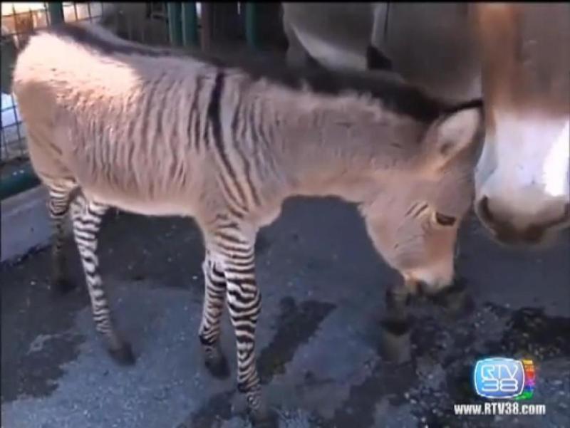 Burro-zebra nasce em Itália (Youtube)